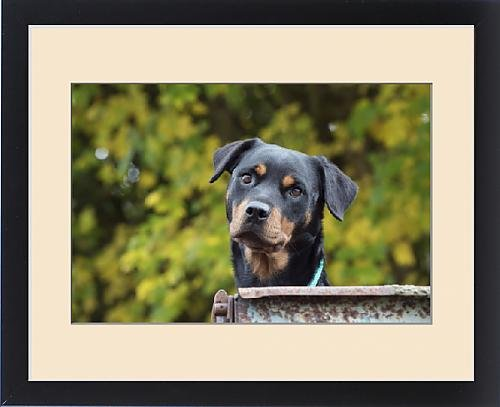 Framed Print of Dog Rottweiler by Prints Prints Prints