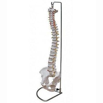 Wirbelsäule Modell mit Becken inkl. Ständer - Anatomie Modell ...