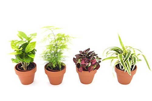 KaBloom Live Plant Collection: Set of 4 Live Plants in a 3-inch Terracotta Clay Pot - Coffee Plant, Fern, Hypoestes, & Spider Plant (Best Air Cleaning Plants)