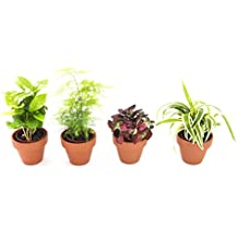KaBloom Live Plant Collection: Set of 4 Live Plants in a 3-inch Terracotta Clay Pot - Coffee Plant, Fern, Hypoestes, & Spider Plant