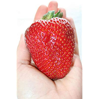 Grandiosy Bulk 3000 + Seeds Strawberry Giant, Instructions, EVERBEARING : Garden & Outdoor