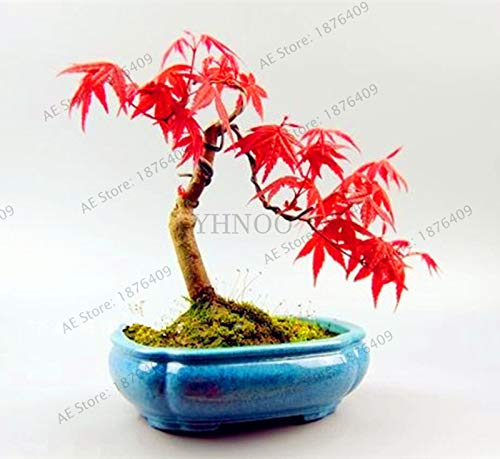 (Potted Plant 100% True Japanese Red Maple Bonsai Tree Plantas 55 Pcs/Pack Very Beautiful Indoor Tree.)