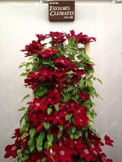 Real climbing clematis bulbs,clematis tree bulbs, perennial plant pot flower bulbs (not clematis seeds) for home garden 1 pcs -