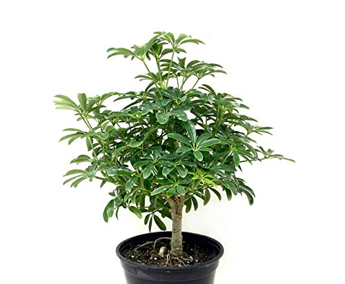 AMERICAN PLANT EXCHANGE Dwarf Braided Hawaiian Umbrella Tree Schefflera Arboricola Live Plant, 6'' 1 Gallon, Indoor Air Purifying by AMERICAN PLANT EXCHANGE (Image #2)