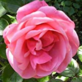 IDEA HIGH Rosa Climbing Rose 'Pink PERPETUE