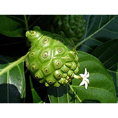 Morinda Citrifolia - Noni - Rare Tropical Plant Tree Seeds (10) : Garden & Outdoor