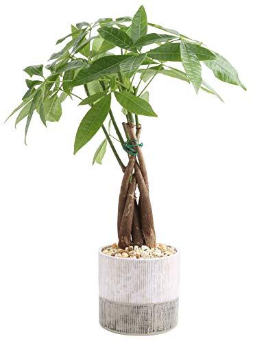 Costa Farms Money Tree, Pachira, Medium, Ships in Premium Ceramic Planter, 16-Inches Tall (Best Soil For Money Tree)