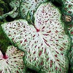 (3) Spectacular Gingerland Dwarf Caladium Bulbs, Root, Plant ()
