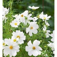 Amazon 180 dwarf white cosmos flower seeds cosmos 180 dwarf white cosmos flower seeds cosmos bipinnatus combined sh mightylinksfo