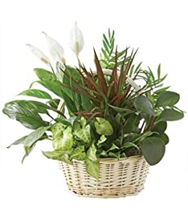 Amazon.com : Serenity Basket - Same Day Indoor Plants Delivery ...