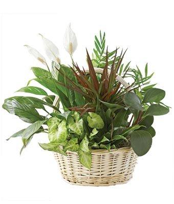 Sympathy Condolences - Same Day Sympathy Flowers Delivery - Condolence Flowers - Funeral Flower Arrangements - Sympathy Plants by eshopclub