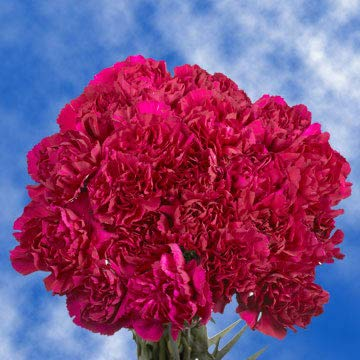 GlobalRose 300 Fresh Cut Purple Carnations - Fresh Flowers Wholesale Express Delivery by GlobalRose (Image #4)