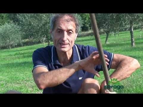 OFFERTA 50 BULBI DI CROCUS SATIVUS ZAFFERANO croco coltivazione