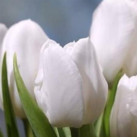 100 Humphreys Garden/® Triumph Tulip White Dream Bulbs Size 10//11