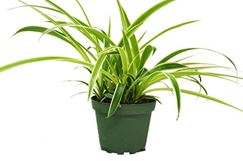 Spider Plant 'Reverse Variegated' - Chlorpohytum - Live House Plant - FREE Care Guide - 4