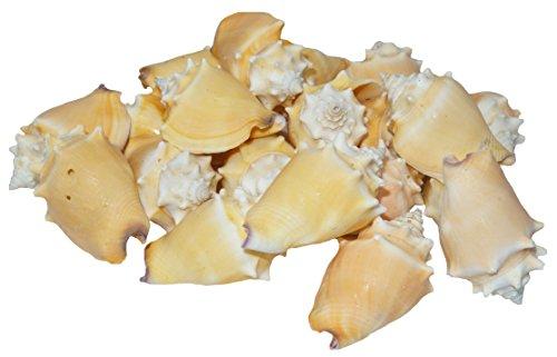 U.S. Shell, Inc. U.S, Fighting Conch ()