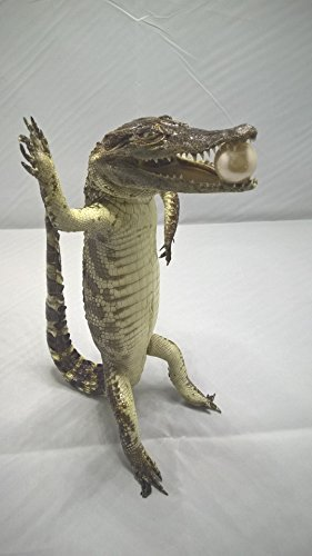 45 cm (17.7inc) Stuffed Real Freshwater Alligator TL01