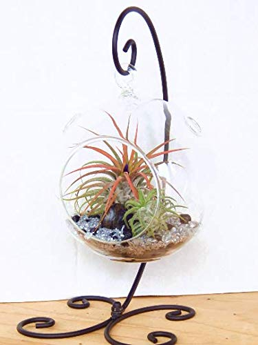 Air Plant Terrarium Kit with 2 Tillandsia Air Plants, Black and Silver Rocks and Black Metal Stand / 5
