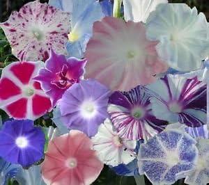 Indian Gardening Mixed Japanese Morning Glory Ipomoea Nil Flower Vine Seeds  10 Seeds