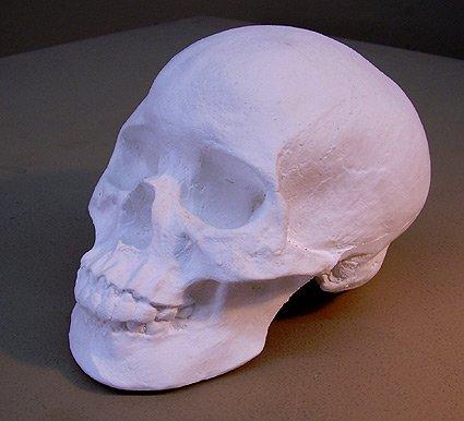 Plaster Human Skull Model (Life Size) -