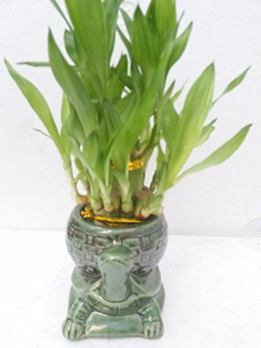jmbamboo-Two Tiered Lucky Bamboo Arrangement Turtle Family Favor-from jmbamboo by JM BAMBOO