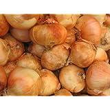 Allium Granex VIDALIA ONION Maui Sweet! Seeds!