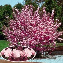 Amazon beautiful pink flowering almond ornamental shrub beautiful pink flowering almond ornamental shrub mightylinksfo Image collections