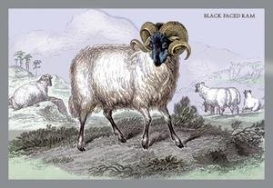 Black Faced Ram Paper poster printed on 12 x 18 -