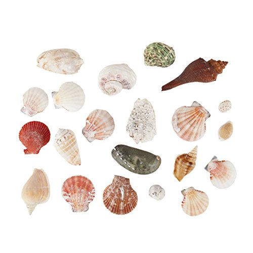 Sea Shells Mixed Beach Seashells - 250 Grams - Quality, Handpicked and Cleaned - Bag of Approx. 21 Seashells (Shell Turritella)