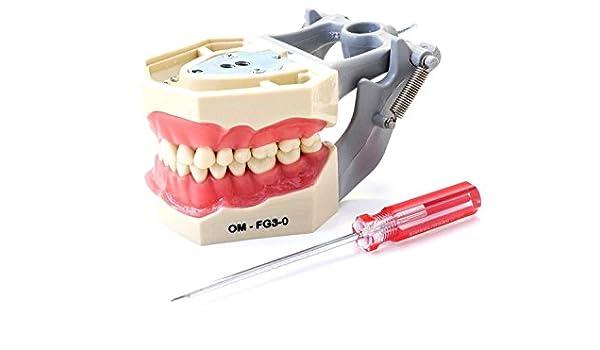 Dental Modelo de Enseñanza anatomía Typodont FG3 con ...