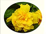 DELITE Double Yellow Flower Tropical Hibiscus Live Plant Landscape Type Starter Size 4 Inch Pot Emeralds TM