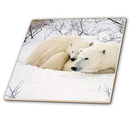 3dRose ct_207196_3 Polar Bears Female & Cub, Churchill Wildlife Management Area, Mb Ceramic Tile, 8
