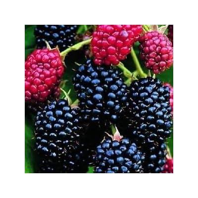 "BLACKBERRY ~Darrow~ ""Rubus"" 20+ Perennial Seeds : Garden & Outdoor"