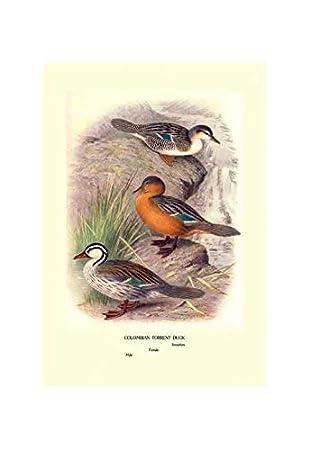 Amazon.com: Buyenlarge Colombian Torrent Ducks Print ...