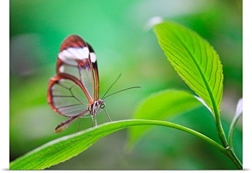 Great BIG Canvas Poster Print entitled Glass wing butterfly relaxing on fresh green leaf by greatBIGcanvas