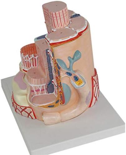 Modelos de ciencia de anatomía humana: modelo de fibra muscular ...