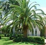 12 Seeds Canary Island Date Palm Tree (Phoenix canariensis)