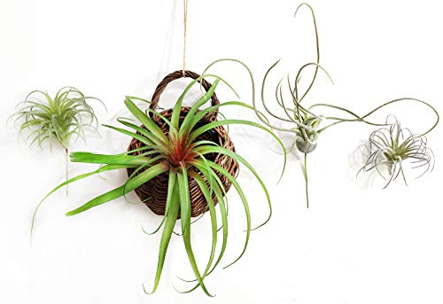 4 Pcs Artificial Flocking Tillandsia Air Plants Faux Succulents Bromeliads (Mixed-4 Pack)