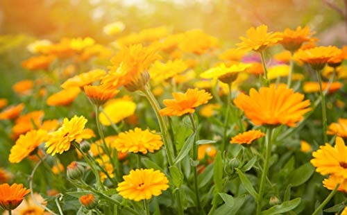 Sweet Yards Seed Co. Calendula 'Pacific Beauty Mix' - Bulk Quarter Pound Bag - Over 12,000 Open Pollinated Non-GMO Wildflower Seeds - Calendula officinalis