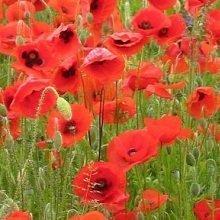JustSeed - Wild Flower - Red Common Field (Flanders) Poppy - Papaver rhoeas - 20000 Seed