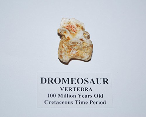 Dromaeosaur Raptor Vertebra Dinosaur Bone Fossil #2852 4o Fossil Dinosaur Bone