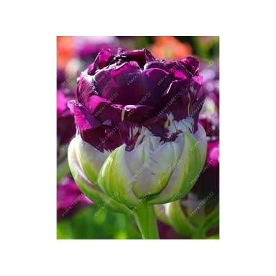 True tulip bulbs (not tulip seeds) bonsai flower bulbs ice cream as beautiful tulips Rizomas Bulbos Aroma potted plant - 2 bulbs 2 : Garden & Outdoor