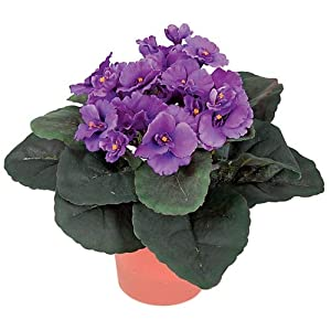 10 Inch Potted African Violet Plant Signature Foliage 6