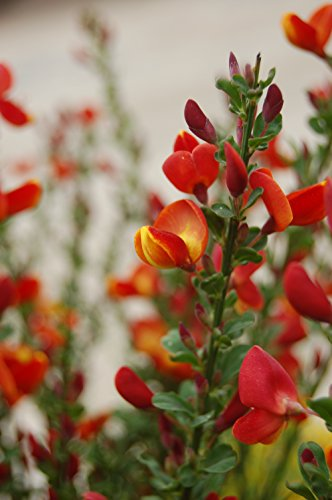 Cytisus sco. 'Lena' (Scotch Broom) Shrub, #3 - Size Container by Green Promise Farms (Image #3)