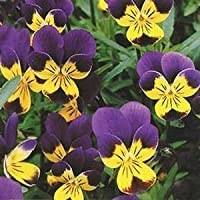 Shelled Warriors Wild Pansy (Viola Tricolor, Heatsease) 100 seeds- Grow and feed your tortoise