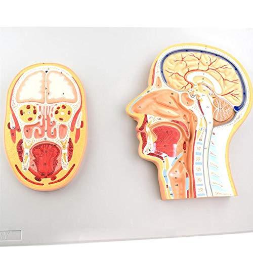 - XIEJI Head Median Section Brain Central Nervous System Oral Cavity Nasal Cavity Throat Model Human Anatomy Medical Model
