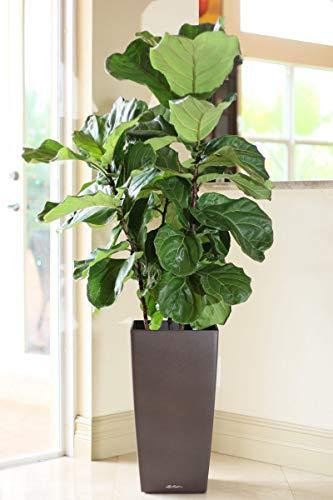PlantVine Ficus lyrata, Fiddle Leaf Fig - XL (4-5ft), Bush - 12-14 Inch Pot (7 Gallon), Live Indoor Plant by PlantVine (Image #6)