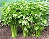 Celery (Tall Utah 52-70 Improved) Seeds, 2,000+ Premium Heirloom Seeds, ON Sale!, (Isla's Garden Seeds), Non GMO Survival Seeds, 99.8% Purity, 90% Germination, Highest Quality!