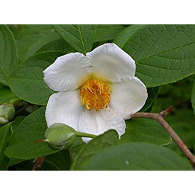 Japanese Stewartia 60 Seeds - Stewartia Pseudocamellia Tree Seeds, Exotic Japanese Garden Seed, Japanese Tree Seeds for Planting Perennial Garden : Garden & Outdoor