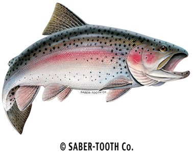 amazon com rainbow trout decal sticker fresh water fish collection
